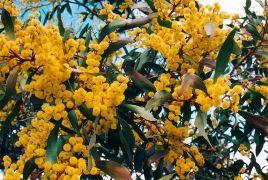 Acacia Myrtifolia (Myrtle Wattle)
